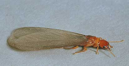 Drywood Termites And Other Wood Destroying Insects